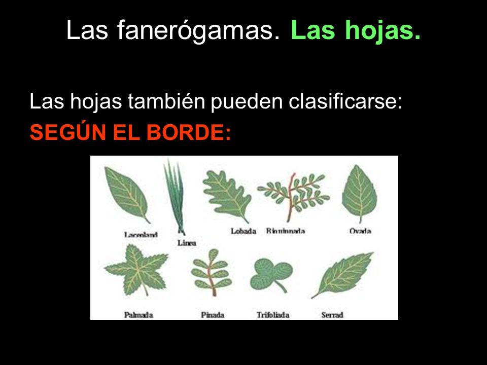 Las fanerógamas. Las hojas. Las hojas también pueden clasificarse: SEGÚN EL BORDE: