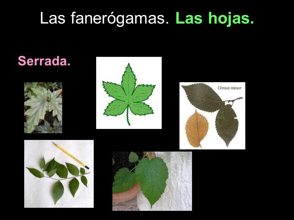 Las fanerógamas. Las hojas. Serrada.