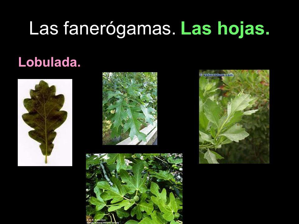 Las fanerógamas. Las hojas. Lobulada.