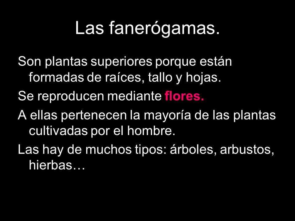 Las fanerógamas. Son plantas superiores porque están formadas de raíces, tallo y hojas. Se reproducen mediante flores. A ellas pertenecen la mayoría d