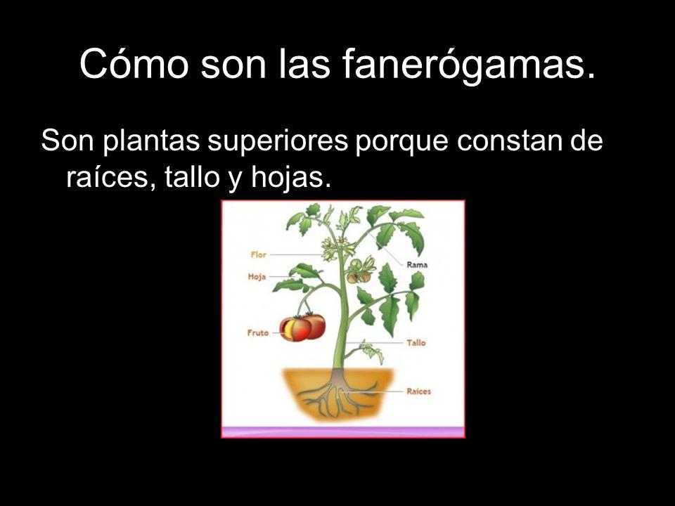 Cómo son las fanerógamas. Son plantas superiores porque constan de raíces, tallo y hojas.