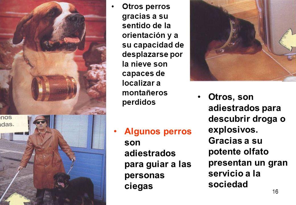 16 Algunos perros son adiestrados para guiar a las personas ciegas Otros perros gracias a su sentido de la orientación y a su capacidad de desplazarse