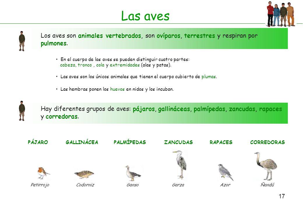 17 Las aves Los aves son animales vertebrados, son ovíparos, terrestres y respiran por pulmones. En el cuerpo de las aves se pueden distinguir cuatro