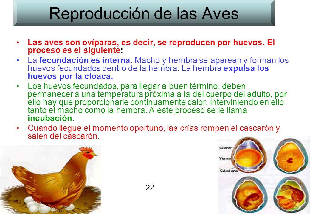 22 Reproducción de las Aves Las aves son ovíparas, es decir, se reproducen por huevos. El proceso es el siguiente: La fecundación es interna. Macho y