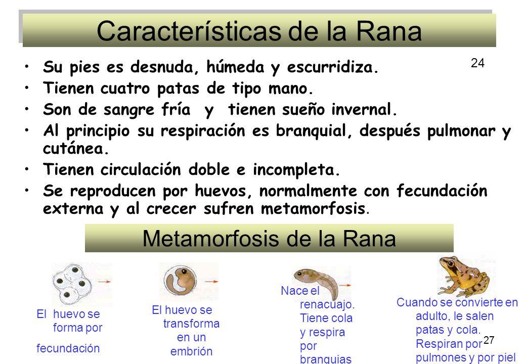 27 Características de la Rana Su pies es desnuda, húmeda y escurridiza. Tienen cuatro patas de tipo mano. Son de sangre fría y tienen sueño invernal.