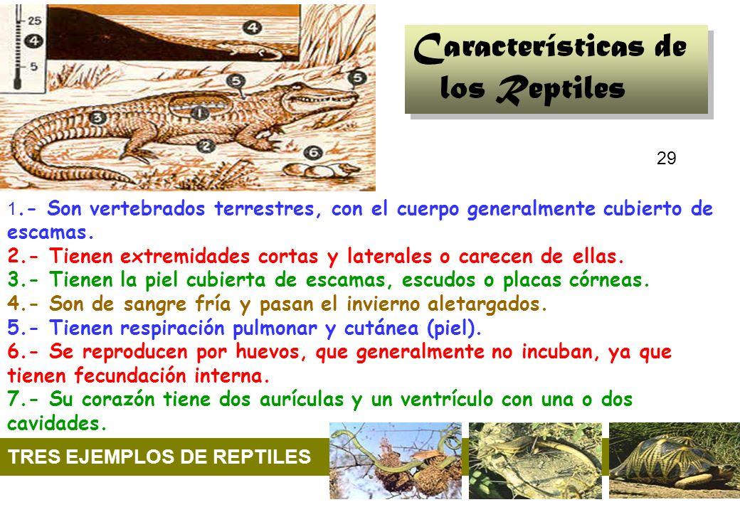 29 1.- Son vertebrados terrestres, con el cuerpo generalmente cubierto de escamas. 2.- Tienen extremidades cortas y laterales o carecen de ellas. 3.-