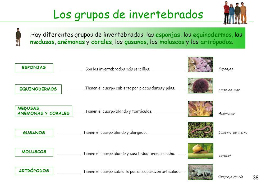 38 Los grupos de invertebrados Hay diferentes grupos de invertebrados: las esponjas, los equinodermos, las medusas, anémonas y corales, los gusanos, l