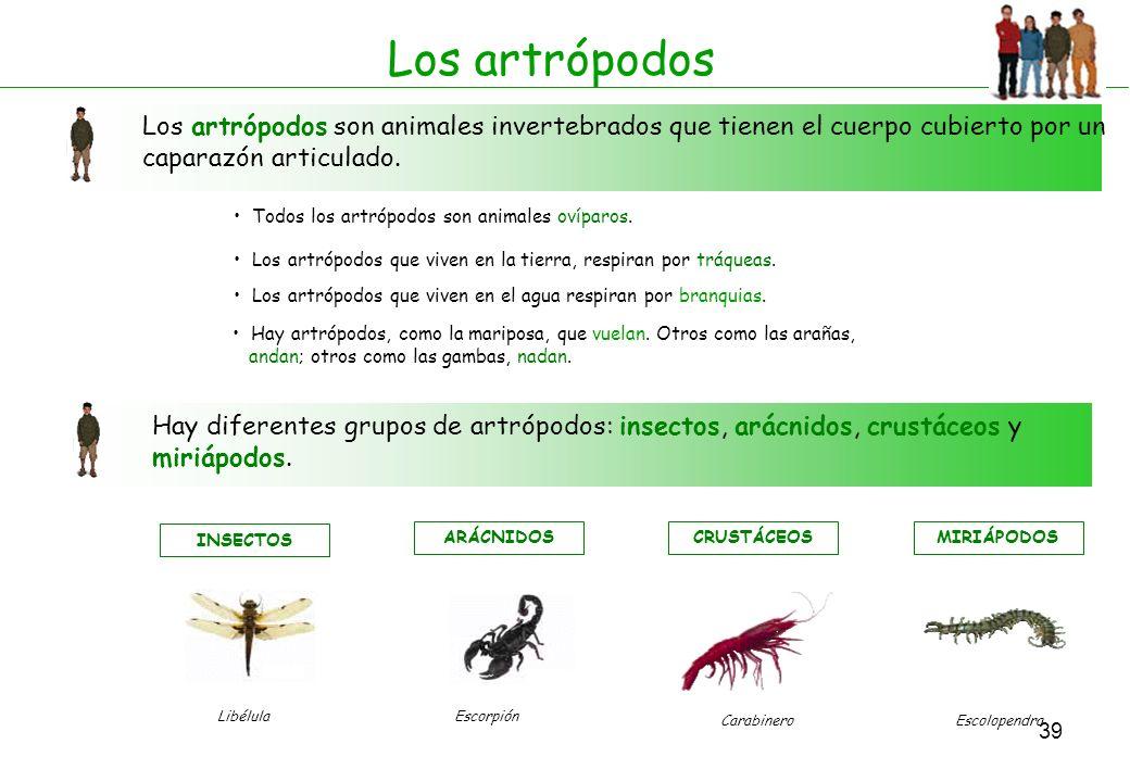 39 Los artrópodos Los artrópodos son animales invertebrados que tienen el cuerpo cubierto por un caparazón articulado. Todos los artrópodos son animal