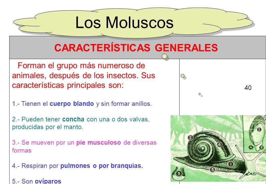 40 CARACTERÍSTICAS GENERALES Forman el grupo más numeroso de animales, después de los insectos. Sus características principales son: 1.- Tienen el cue