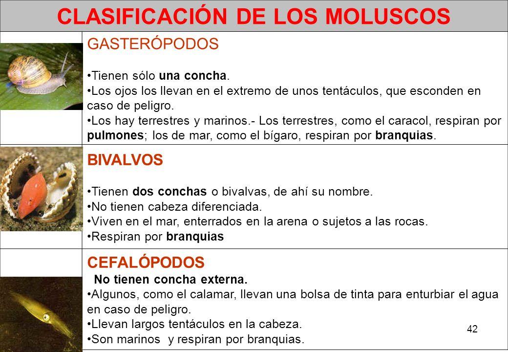 42 CLASIFICACIÓN DE LOS MOLUSCOS GASTERÓPODOS Tienen sólo una concha. Los ojos los llevan en el extremo de unos tentáculos, que esconden en caso de pe