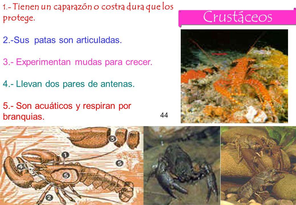 44 Crustáceos 1.- Tienen un caparazón o costra dura que los protege. 2.-Sus patas son articuladas. 3.- Experimentan mudas para crecer. 4.- Llevan dos