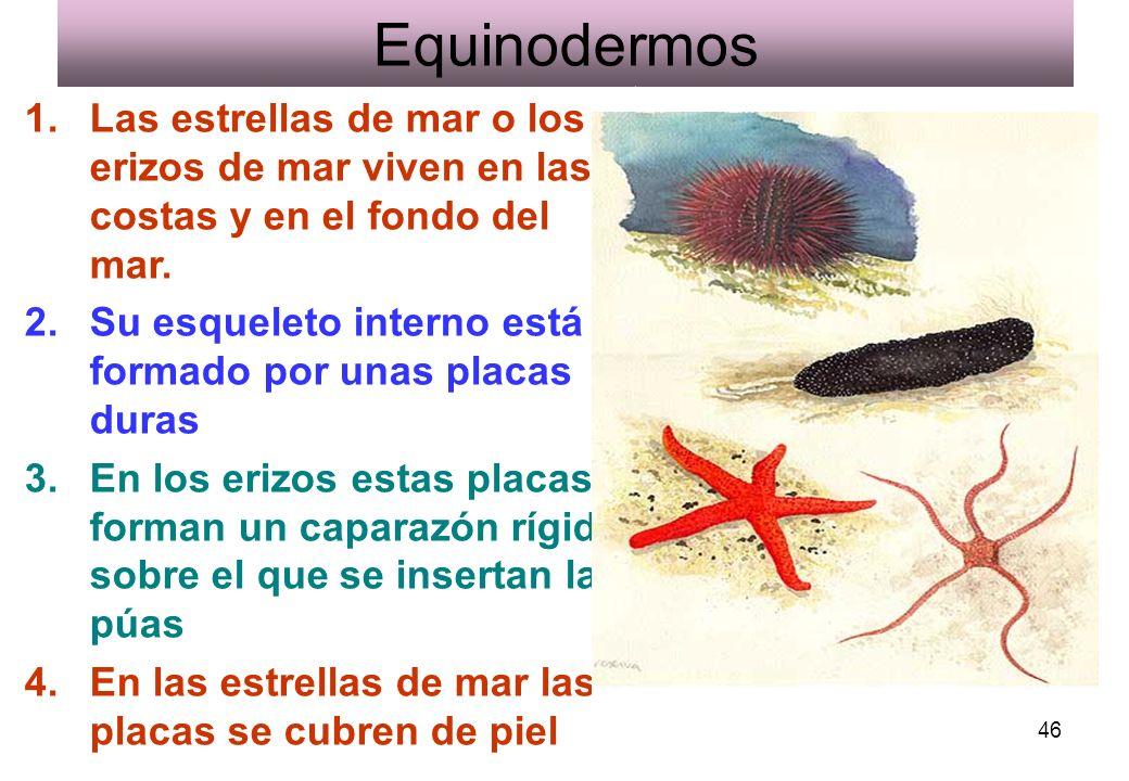 46 Equinodermos 1.Las estrellas de mar o los erizos de mar viven en las costas y en el fondo del mar. 2.Su esqueleto interno está formado por unas pla