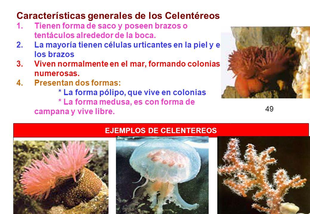 49 Características generales de los Celentéreos 1.Tienen forma de saco y poseen brazos o tentáculos alrededor de la boca. 2.La mayoría tienen células