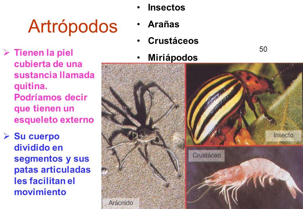 50 Artrópodos Insectos Arañas Crustáceos Miriápodos Tienen la piel cubierta de una sustancia llamada quitina. Podríamos decir que tienen un esqueleto