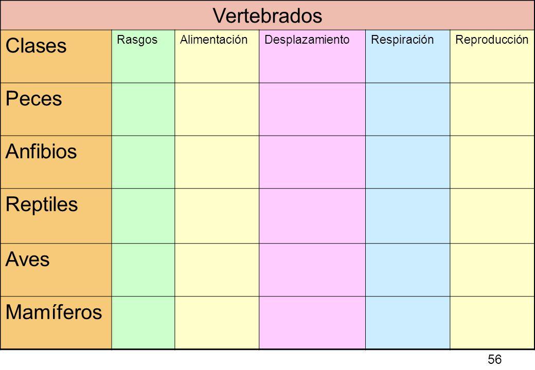 56 Vertebrados Clases RasgosAlimentaciónDesplazamientoRespiraciónReproducción Peces Anfibios Reptiles Aves Mamíferos 56