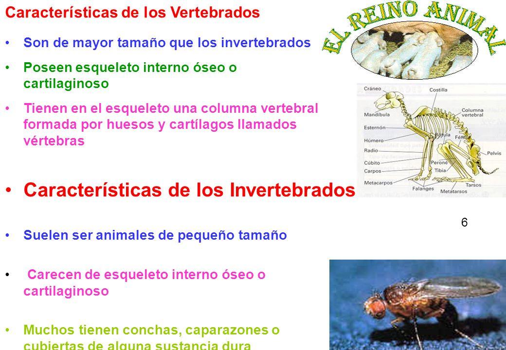 6 Son de mayor tamaño que los invertebrados Poseen esqueleto interno óseo o cartilaginoso Tienen en el esqueleto una columna vertebral formada por hue