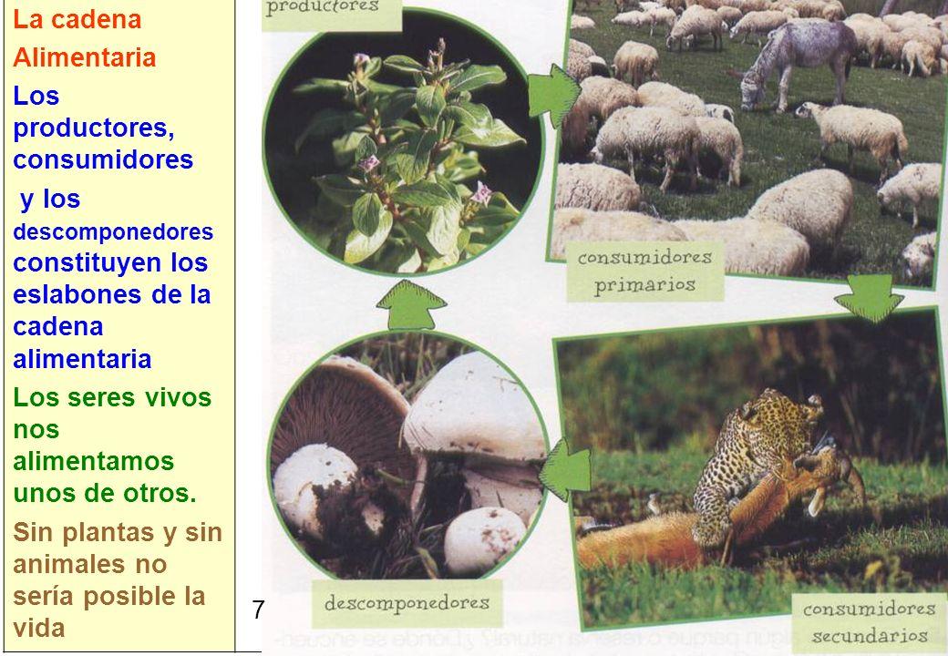 7 La cadena Alimentaria Los productores, consumidores y los descomponedores constituyen los eslabones de la cadena alimentaria Los seres vivos nos ali