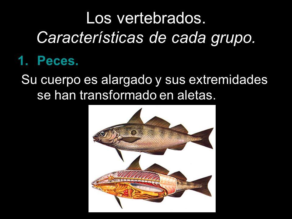 Los vertebrados. Características de cada grupo. 1.Peces. Su cuerpo es alargado y sus extremidades se han transformado en aletas.