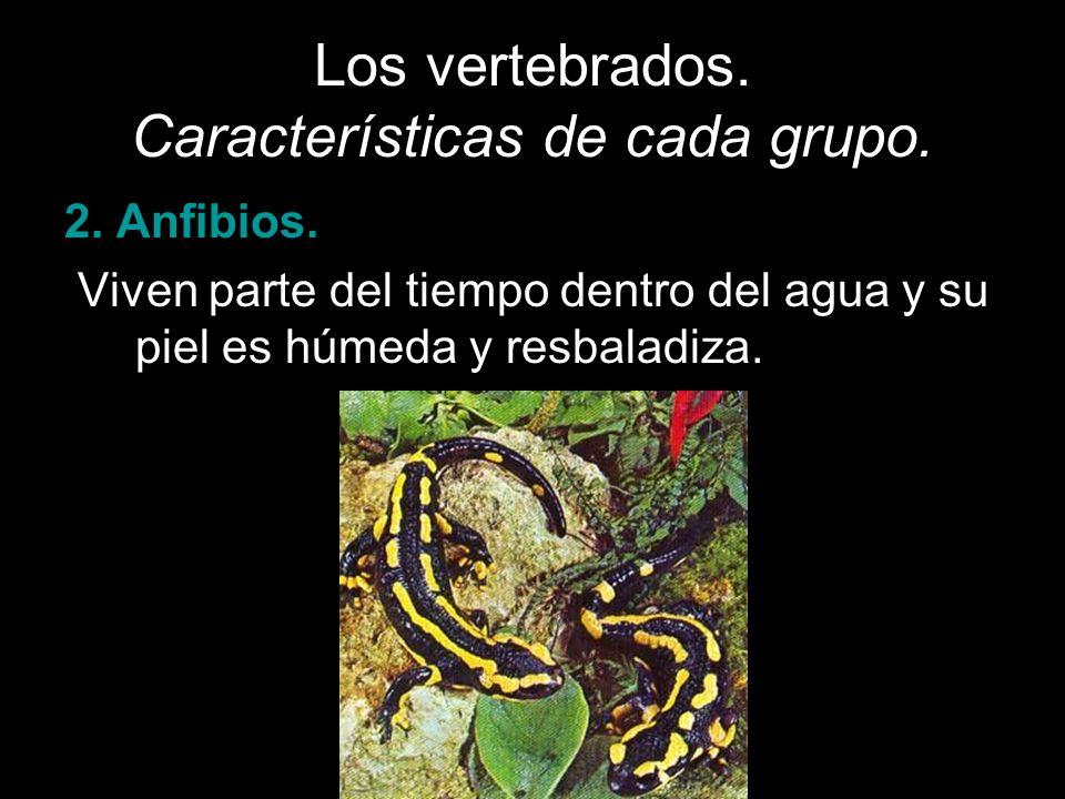 Los vertebrados. Características de cada grupo. 2. Anfibios. Viven parte del tiempo dentro del agua y su piel es húmeda y resbaladiza.