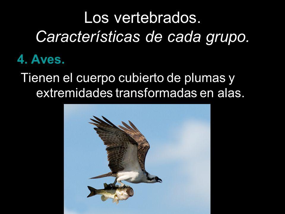 Los vertebrados. Características de cada grupo. 4. Aves. Tienen el cuerpo cubierto de plumas y extremidades transformadas en alas.