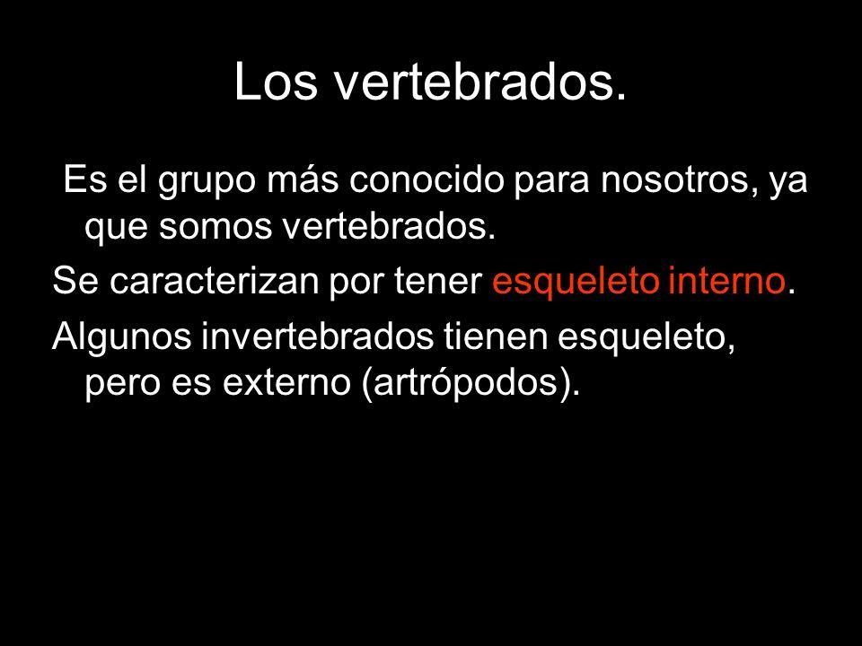 Los vertebrados. Es el grupo más conocido para nosotros, ya que somos vertebrados. Se caracterizan por tener esqueleto interno. Algunos invertebrados