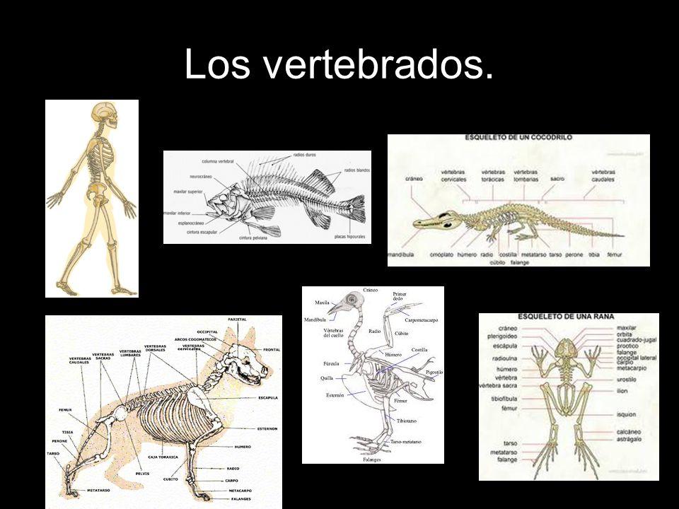 Los vertebrados.Características de cada grupo. 5.