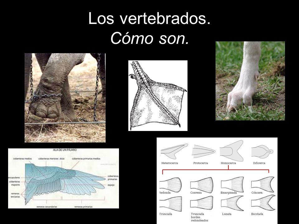 Los vertebrados se clasifican en cinco grupos: 1.Peces.