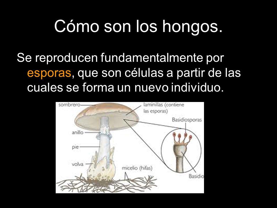 Se reproducen fundamentalmente por esporas, que son células a partir de las cuales se forma un nuevo individuo.