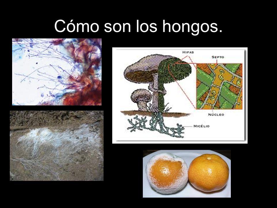 Cómo son los hongos.