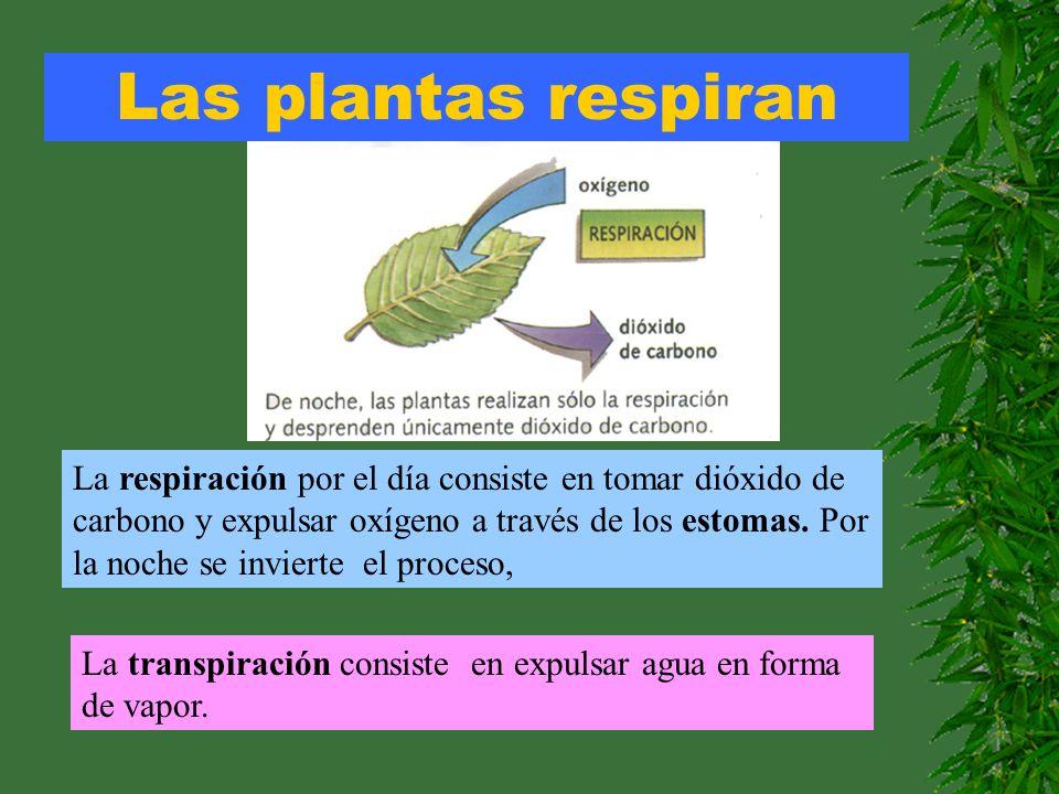 Las plantas respiran La respiración por el día consiste en tomar dióxido de carbono y expulsar oxígeno a través de los estomas. Por la noche se invier