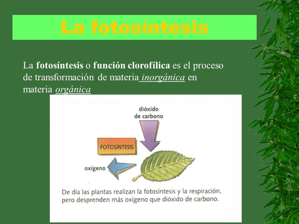 La fotosíntesis La fotosíntesis o función clorofílica es el proceso de transformación de materia inorgánica en materia orgánica