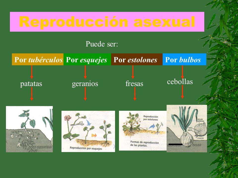 Reproducción asexual Puede ser: Por tubérculos patatas Por esquejesPor estolonesPor bulbos geraniosfresas cebollas