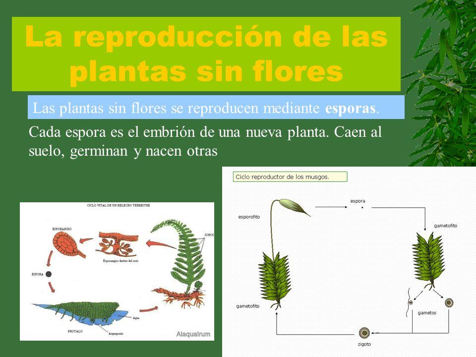 La reproducción de las plantas sin flores Las plantas sin flores se reproducen mediante esporas. Cada espora es el embrión de una nueva planta. Caen a