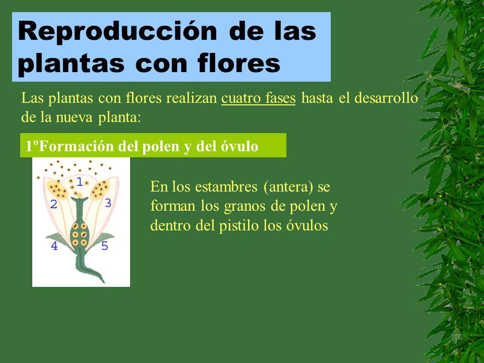 Reproducción de las plantas con flores Las plantas con flores realizan cuatro fases hasta el desarrollo de la nueva planta: 1ºFormación del polen y de