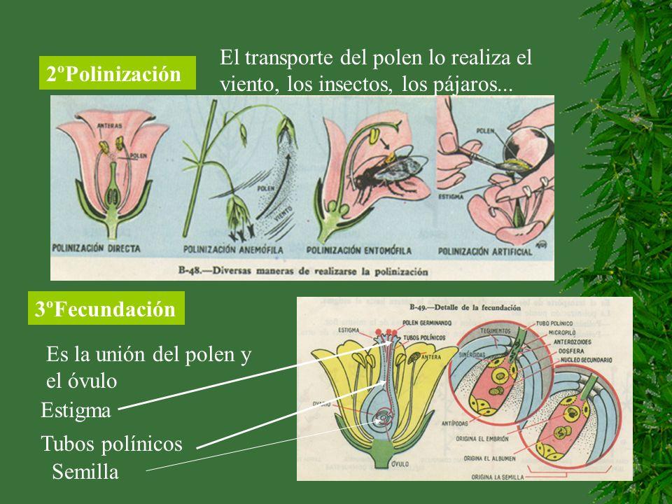 2ºPolinización El transporte del polen lo realiza el viento, los insectos, los pájaros... 3ºFecundación Es la unión del polen y el óvulo Estigma Tubos