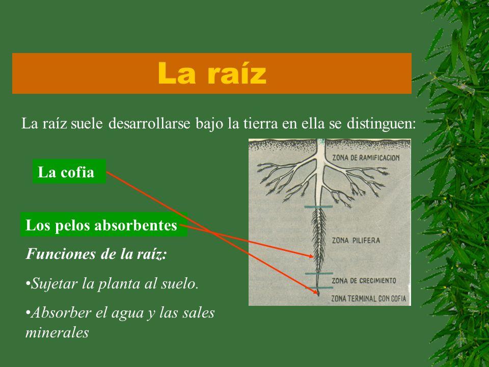 La raíz La raíz suele desarrollarse bajo la tierra en ella se distinguen: La cofia Los pelos absorbentes Funciones de la raíz: Sujetar la planta al su