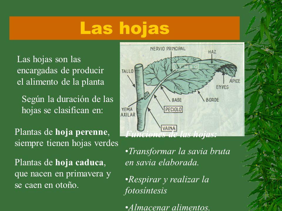 Las hojas Las hojas son las encargadas de producir el alimento de la planta Según la duración de las hojas se clasifican en: Plantas de hoja perenne,