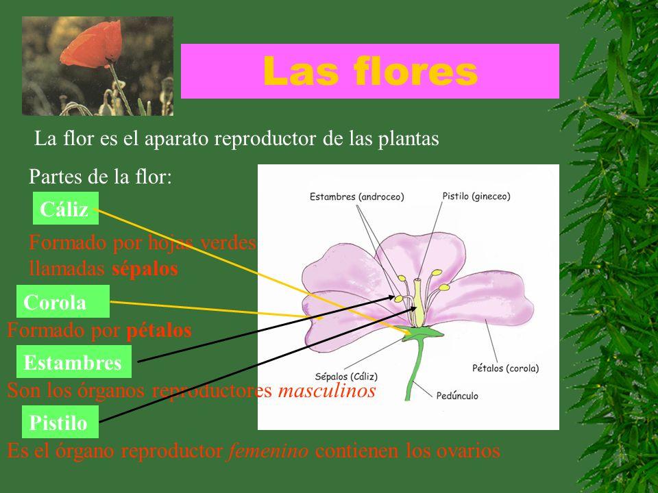 Las flores La flor es el aparato reproductor de las plantas Partes de la flor: Cáliz Formado por hojas verdes llamadas sépalos Corola Formado por péta