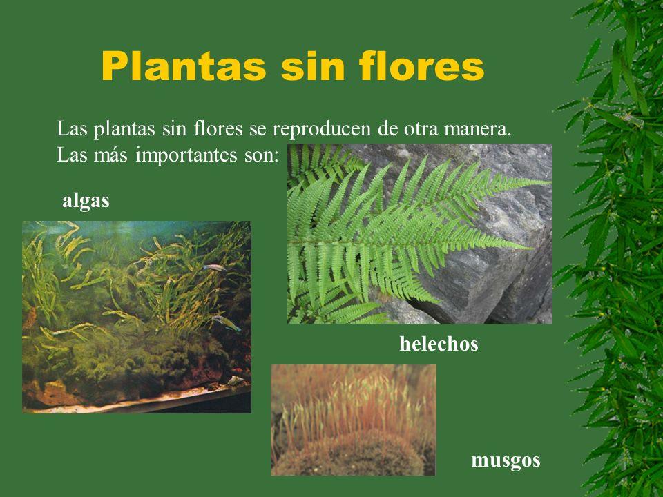Plantas sin flores Las plantas sin flores se reproducen de otra manera. Las más importantes son: algas musgos helechos