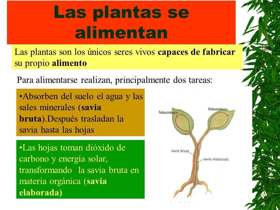 Las plantas se alimentan Las plantas son los únicos seres vivos capaces de fabricar su propio alimento Para alimentarse realizan, principalmente dos t