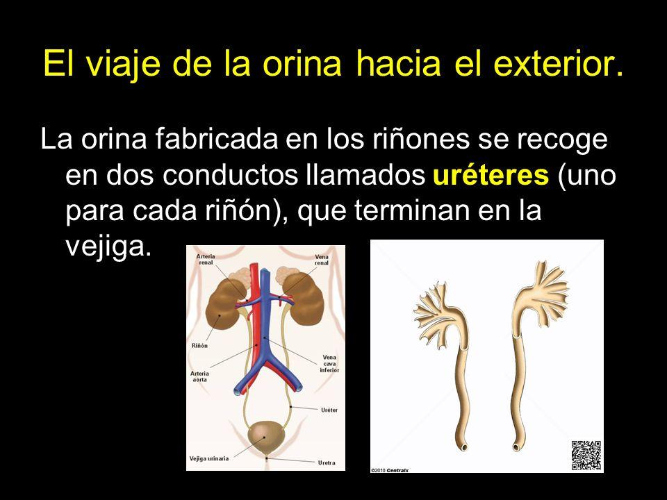 La orina fabricada en los riñones se recoge en dos conductos llamados uréteres (uno para cada riñón), que terminan en la vejiga.