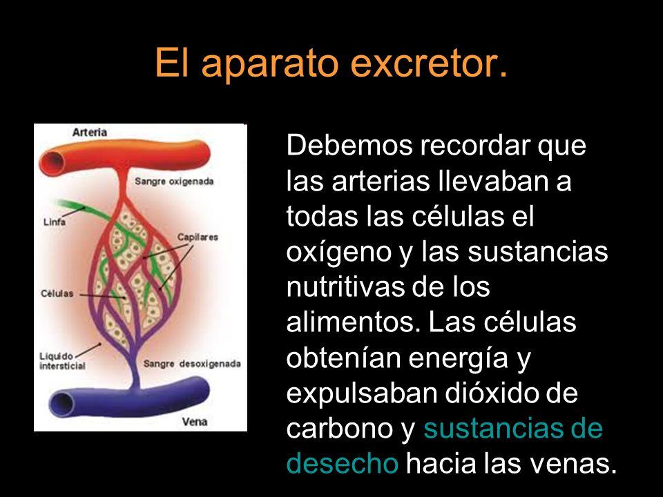 El aparato excretor. Debemos recordar que las arterias llevaban a todas las células el oxígeno y las sustancias nutritivas de los alimentos. Las célul