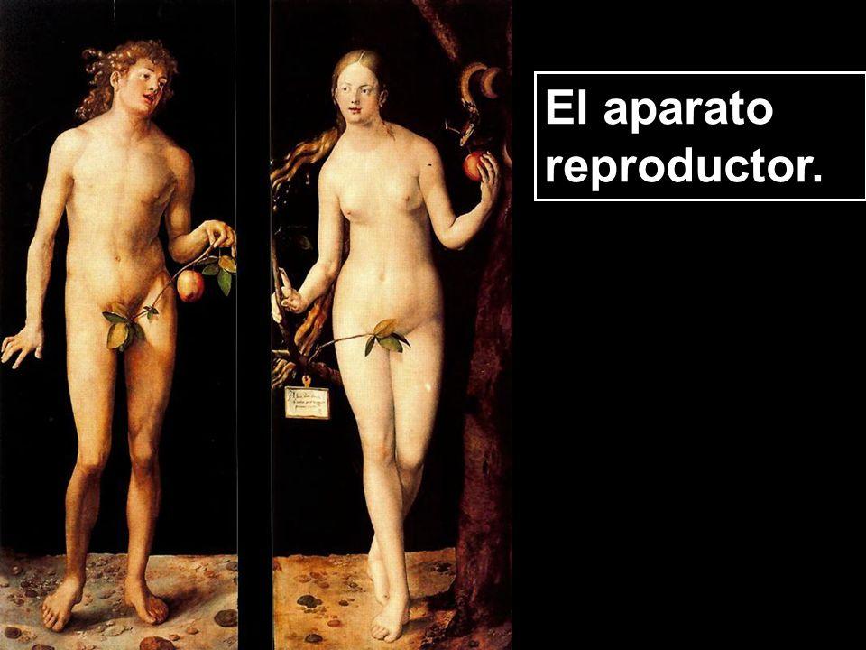 El aparato reproductor femenino. La vulva.