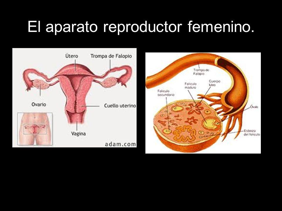 Las trompas de Falopio: Son dos, como los ovarios.