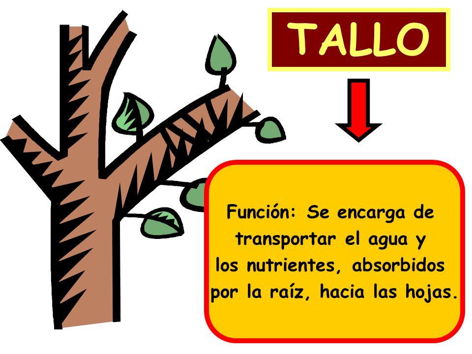 TALLO Función: Se encarga de transportar el agua y los nutrientes, absorbidos por la raíz, hacia las hojas.
