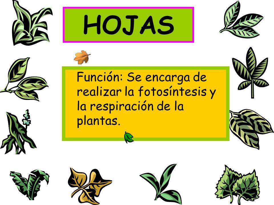 HOJAS Función: Se encarga de realizar la fotosíntesis y la respiración de la plantas.