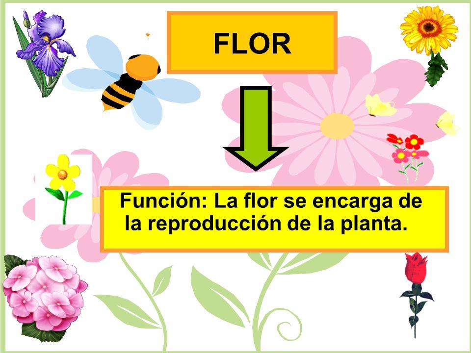 FLOR Función: La flor se encarga de la reproducción de la planta.