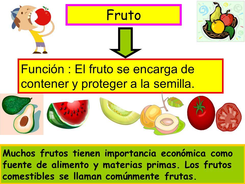 Fruto Función : El fruto se encarga de contener y proteger a la semilla. Muchos frutos tienen importancia económica como fuente de alimento y materias