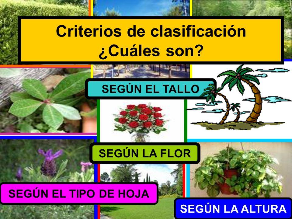 Criterios de clasificación ¿Cuáles son? SEGÚN EL TIPO DE HOJA SEGÚN LA FLOR SEGÚN LA ALTURA SEGÚN EL TALLO