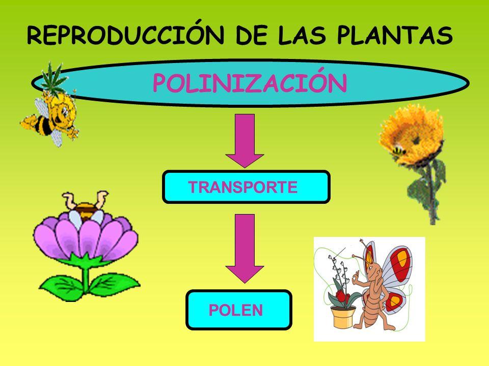 REPRODUCCIÓN DE LAS PLANTAS POLINIZACIÓN TRANSPORTE POLEN